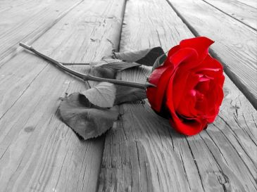 red rose on ground